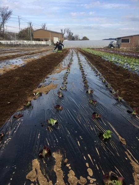2020年01月25日 【渡邉農園】援農ボランティア